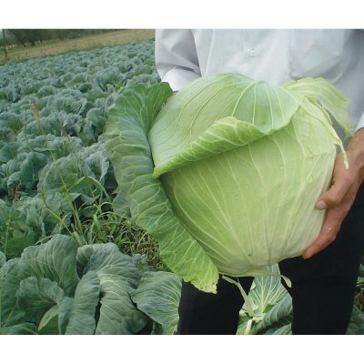 Harvest Mist F1 Hybrid White Cabbage