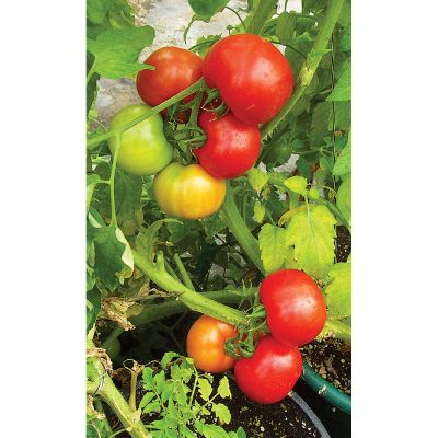 Red Hero F1 Hybrid Determinate Tomato