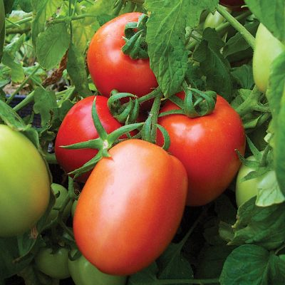 Red Head F1 Hybrid Determinate Roma Tomato