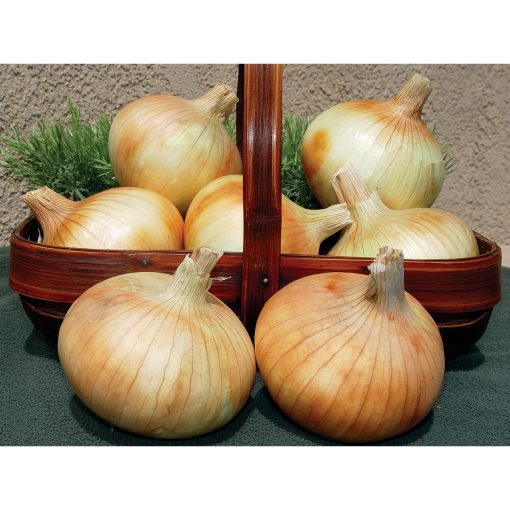 Pumba F1 Hybrid Short Day Yellow Grano Onion