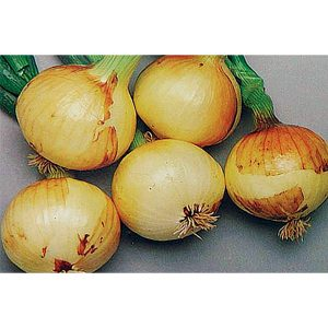 DP Sweet F1 Hybrid Short Day Yellow Sweet Granex Onion