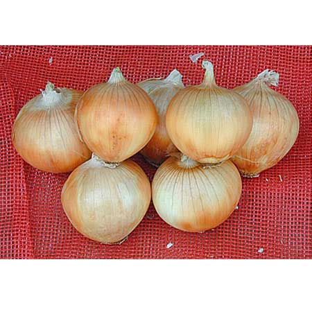 NuMex Serenade Short Day Grano Onion
