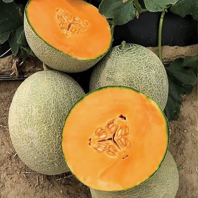 Amber Gold F1 Hybrid Long Shelf Life Melon