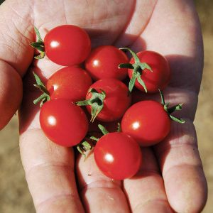 Mini Charm F1 Hybrid Indeterminate Cherry Tomato