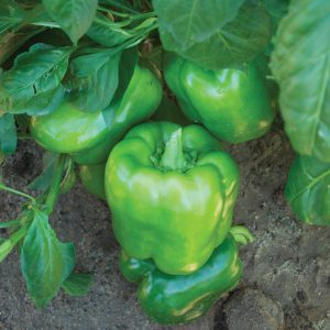 Jaguar F1 Hybrid Sweet Bell Pepper