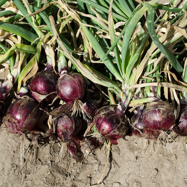 Cherry Mountain F1 Hybrid Onion