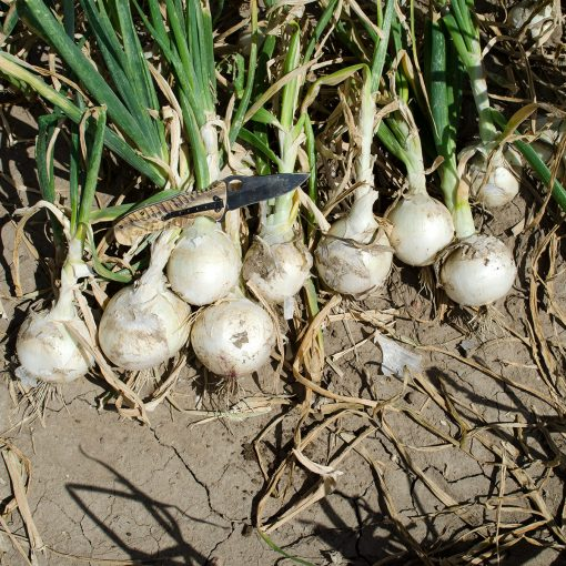 Diamond Swan F1 Hybrid Onion