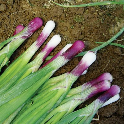 Red Bunching F1 Hybrid Bunching Scallion Onion