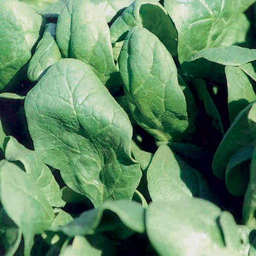7-green Improved F1 Hybrid Spinach