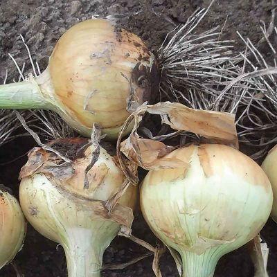 Rio Amarillo F1 Hybrid Short Day Yellow Grano Onion