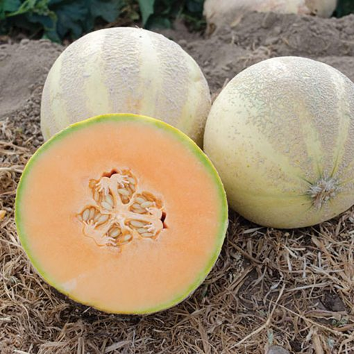 Oui F1 Hybrid Charentais Mixed Melon