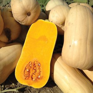Narragansett F1 Hybrid Butternut Winter Squash