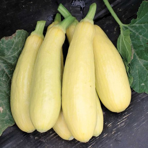Mayo F1 Hybrid Yellow Summer Squash