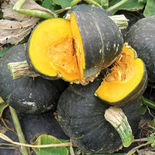 Olive Butta F1 Hybrid Winter Squash