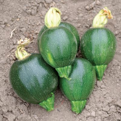 Black Ball F1 Hybrid Round Summer Squash