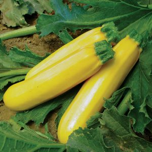 Golden Girl F1 Hybrid Yellow Summer Zucchini Squash