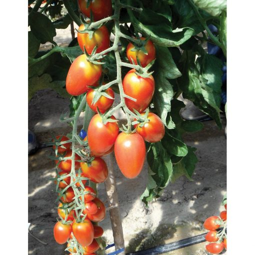 Red Scorpion F1 Hybrid Indeterminate Plum Tomato