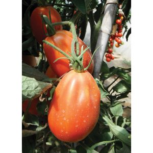 Red Anjou F1 Hybrid Indeterminate Pear Shaped Tomato