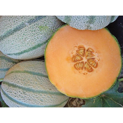 Vida Tuscan Type Long Shelf Life Melon