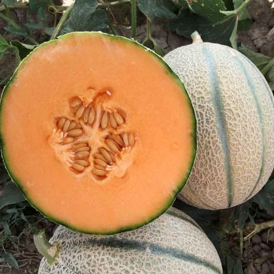 LSL-1756 F1 Hybrid Long Shelf Life Melon