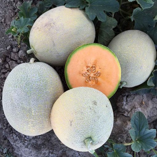 LSL-1756 F1 Hybrid Extra Long Shelf Life Melon