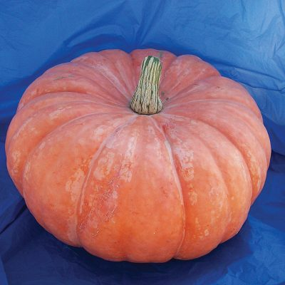Shadow Moon F1 Hybrid Pumpkin