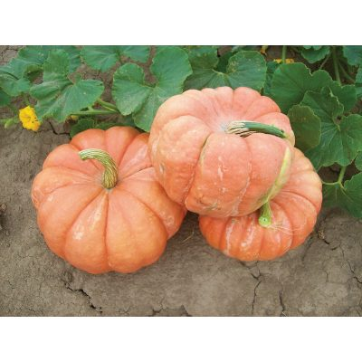 Indian Doll F1 Hybrid Pumpkin