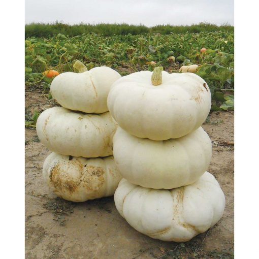 Moon Stacker F1 Hybrid Pumpkin