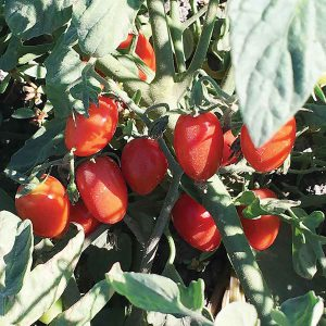 Candy Bell F1 Hybrid Determinate Grape Tomato