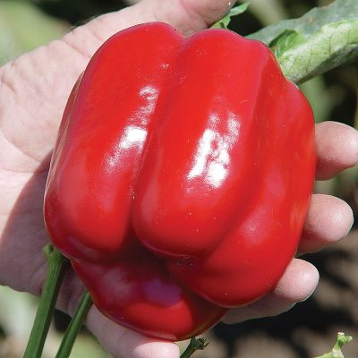 Cougar F1 Hybrid Blocky Bell Sweet Pepper