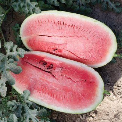 Plantation Pride F1 Hybrid Diploid Watermelon