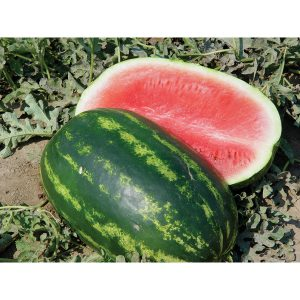 Comadre F1 Hybrid Diploid Watermelon