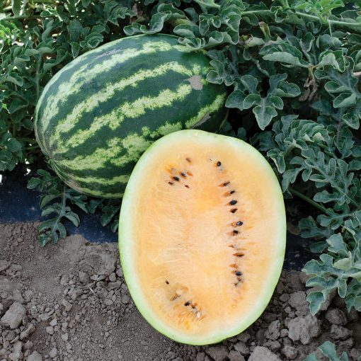 Orange Krush F1 Hybrid Diploid Orange Flesh Watermelon