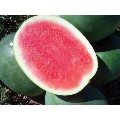 Verde Roo F1 Hybrid Seedless Watermelon