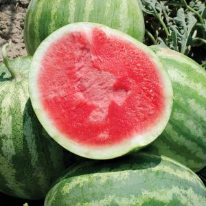 Red Rock F1 Hybrid Triploid Seedless Watermelon