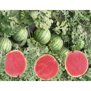 Poquito F1 Triploid Seedless Watermelon