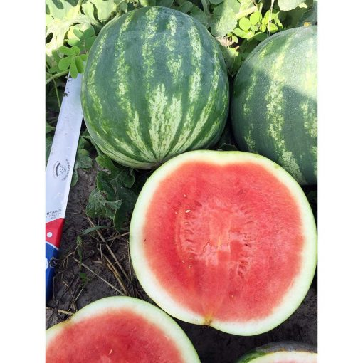 WT-16-602 F1 Hybrid Seedless Watermelon