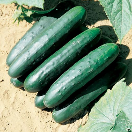 Green Delight F1 Hybrid Cucumber