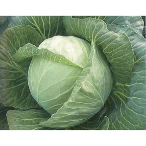 White Mist F1 Hybrid Cabbage